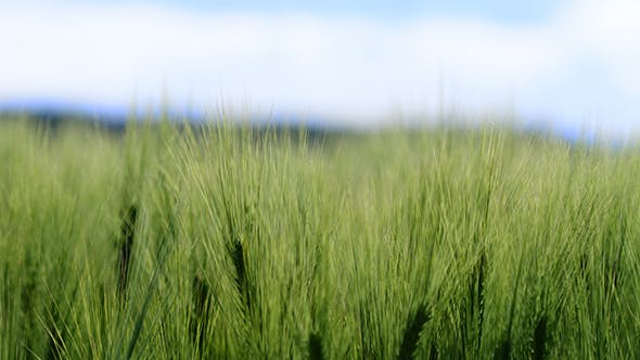 Thumbnail for Wheat Swaying In Farm On Sunny Day