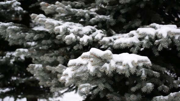 Thumbnail for The Branches Of Spruce In  Snow In At Park