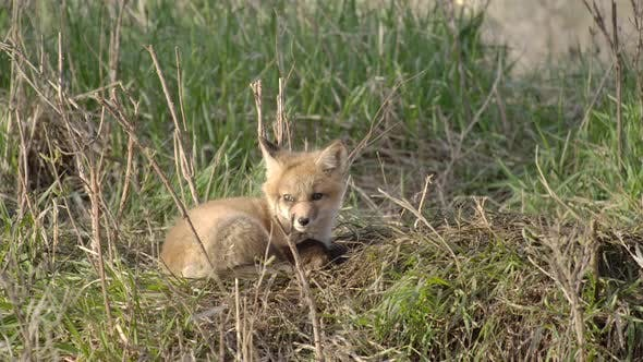 Thumbnail for Red Fox Young Pup Lone Resting Looking Around in Spring Den in South Dakota