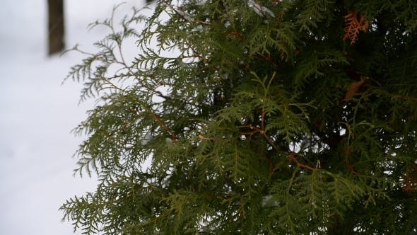Thumbnail for Snow-covered Fir In Park