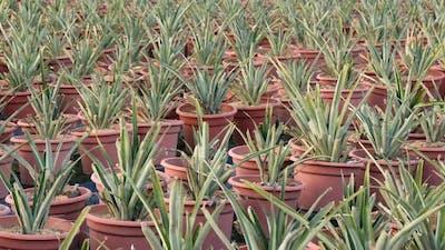 Pine apple in pot