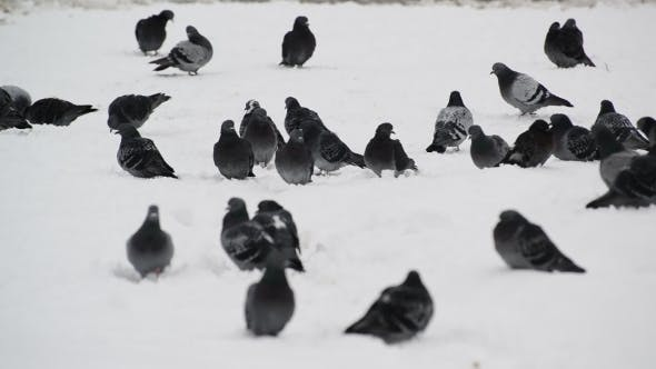 Thumbnail for Flock Of Pigeons On Snow