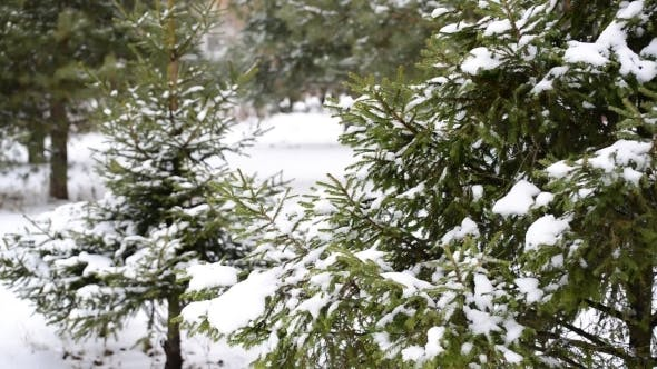 Thumbnail for Coniferous Forest In Winter On  Cloudy Day