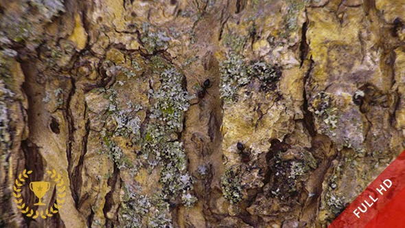 Thumbnail for Ants on the Bark of a Tree