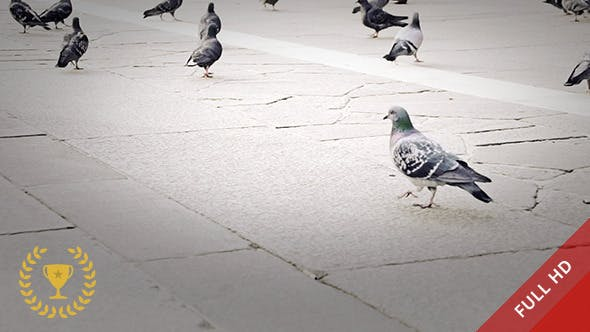 Cover Image for Pigeons