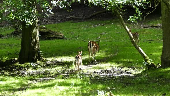 Cover Image for Mother and baby deer walking away