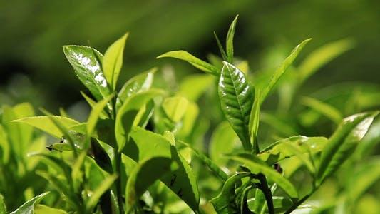 Thumbnail for Green Leaves