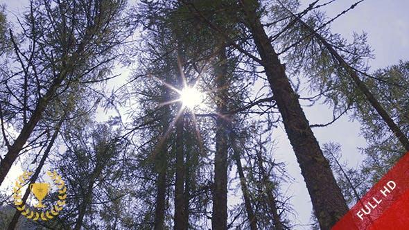 Thumbnail for Pine Forest in Sunlight