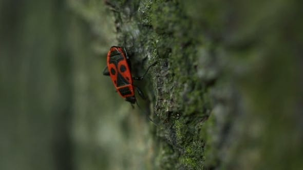 Red Beetle In Forest