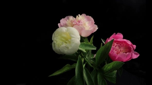 Thumbnail for Peony Flowering