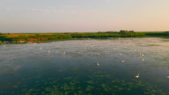 There is a Great Flock of Swans in the Reserve Zone