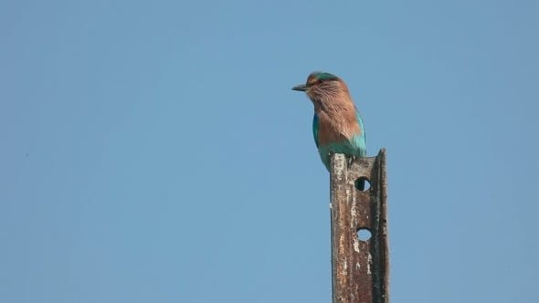 Cover Image for Indian Roller (Coracias Benghalensis)