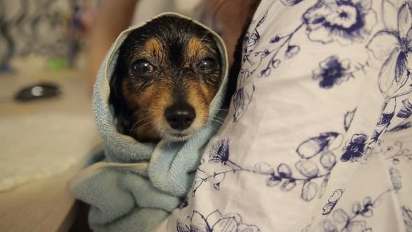 Thumbnail for Little Dog After Bathing