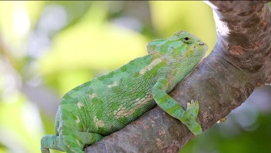 Thumbnail for Green chameleon holding up tight to the branch in windy conditions