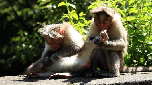 Thumbnail for Monkeys Grooming Each Other