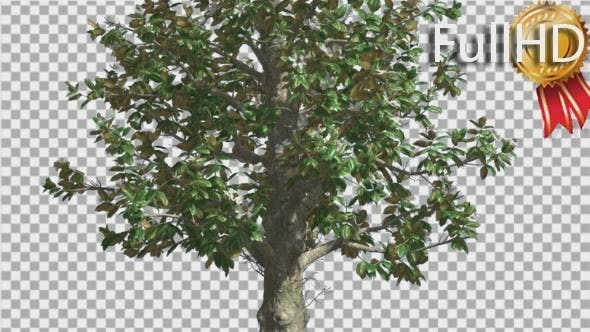 Thumbnail for Southern Magnolia Flowers Tree is Swaying Wind