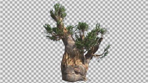 Bristlecone Pine Thick Tree Trunk Green Narrow