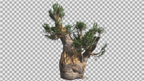 Thumbnail for Bristlecone Pine Thick Tree Trunk Green Narrow