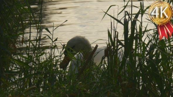 Thumbnail for White Swan Benind the Green Reed Bird is Feeding