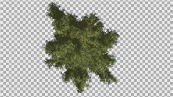 Alaska Cedar Crown Top Down Tree is Swaying Wind