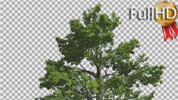 Thumbnail for Sassafras Top of The Tree is Swaying at Breeze