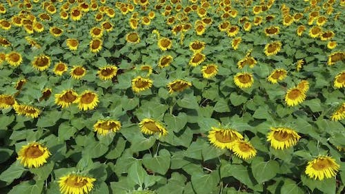 Camera flies over the A field of blooming sunflowers fluttering in the wind.