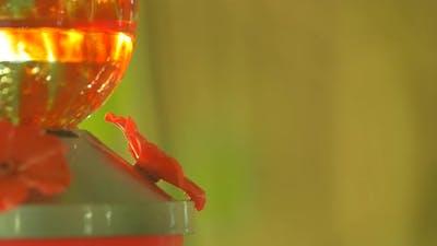 Hummingbird drinking water