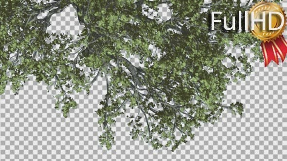 Thumbnail for White Oak Branch of a Crown Top Down is Swaying