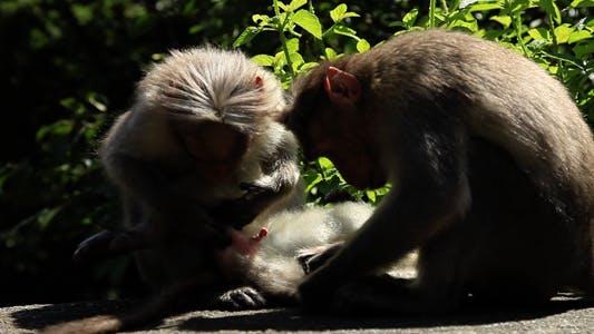 Thumbnail for Wild Monkeys