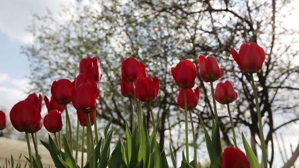 Thumbnail for Tulip Red Flower