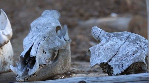Skulls of Animals Lie on the Beam