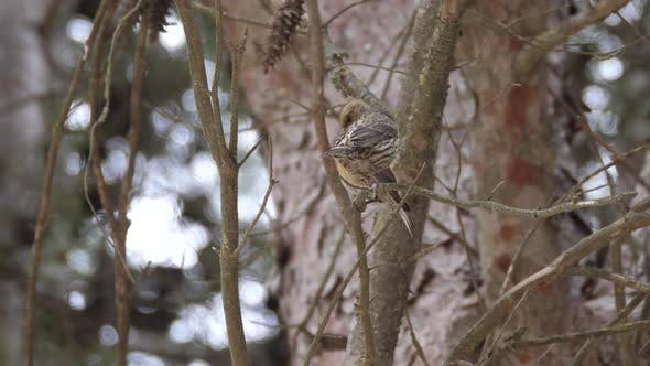 Thumbnail for Male and Female Red Crossbill on A Branch