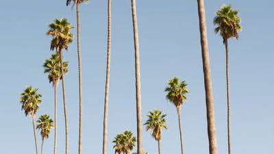 Palms in Los Angeles California USA
