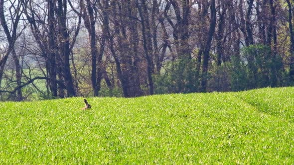 Thumbnail for Picturesque Rural Landscape with Green Field and Hare