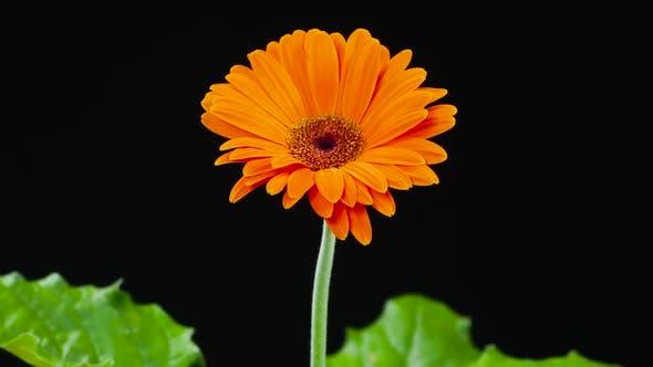 Timelapse of Blooming Orange Flower