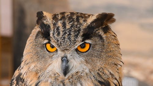 Eagle Owl in a Zoo Park