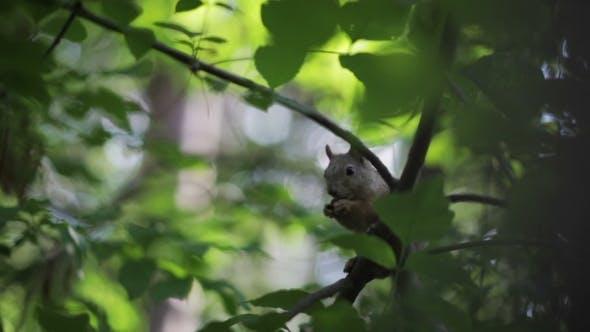 Thumbnail for Eichhörnchen Essen Nüsse auf einem Baum