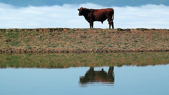Bull By the Lake