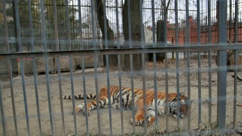 Tiger In The Zoo Cage