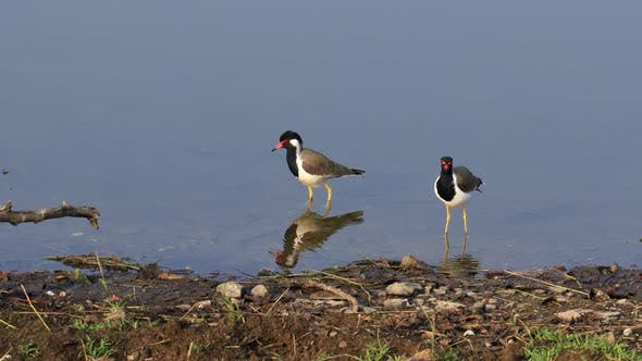 Red-wattled Lapwing Vanellus Indicus Is an Asian Lapwing or Large Plover