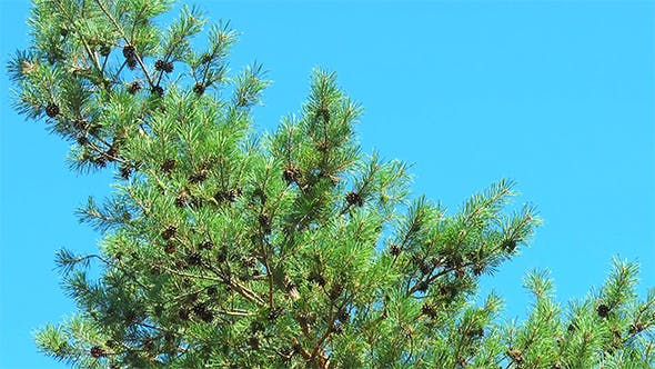 Many Cones on a Pine Tree With a Curved Trunk
