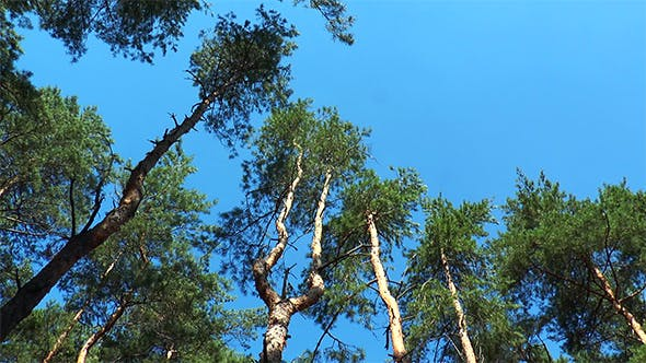 Thumbnail for Tall Pine Trunks Wind Shakes