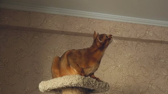 Cover Image for Abyssinian Cat