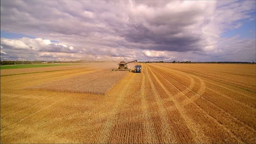 The Brown Grain Crops in the Grain Fields