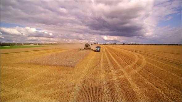 Die braunen Getreidepflanzen in den Getreidefeldern