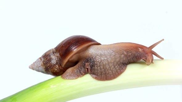 Thumbnail for Snail Eats a Leek