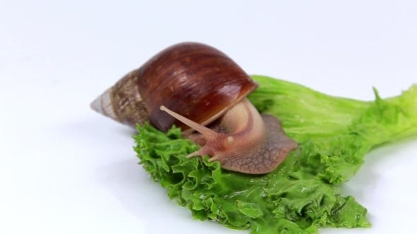 Thumbnail for Little Light Brown Snail Eats a Lettuce