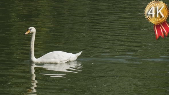Thumbnail for Swan Lake White Birds Swans And Speckled Ducks