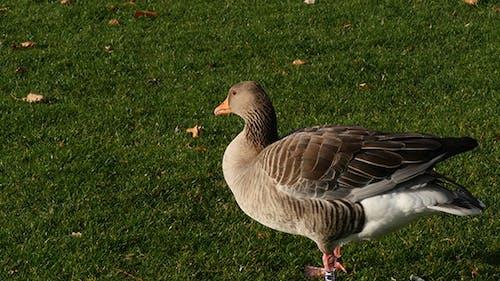 Gray Goose On Green Grass