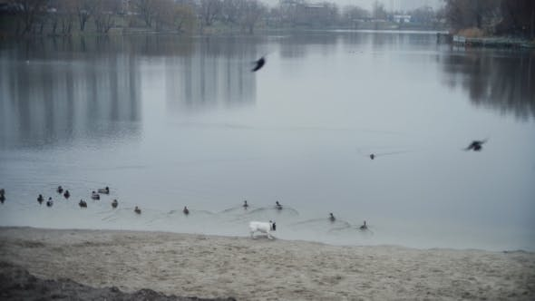 Thumbnail for The Dog Scares a Flock Of Ducks
